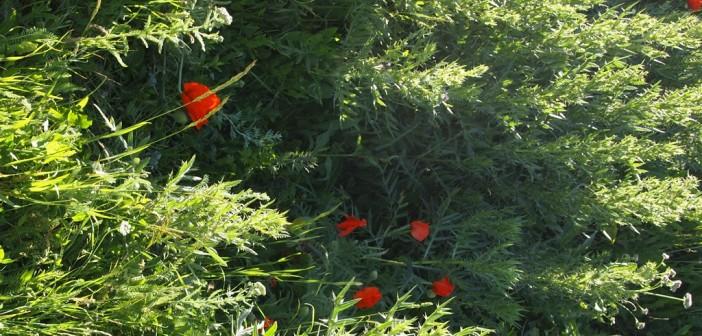 Fields of Artsakh